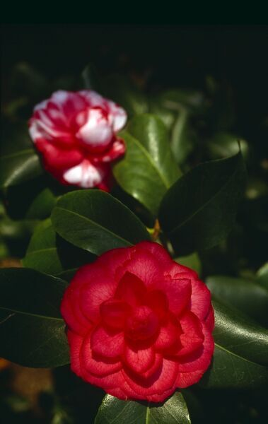 Camellias in bloom M980809. © Max Alexander