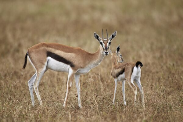 Thomsons gazelle (Gazella thomsonii) mother and young ...