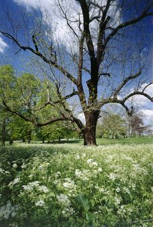 Black Walnut tree and Cow Parsley K991609