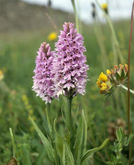 Common spotted orchid K991351