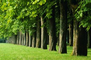 Line of trees, Touraine, Centre, France, Europe