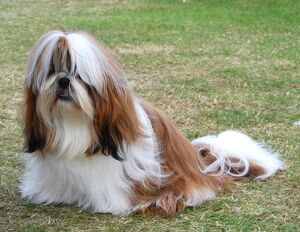 Shih Tzu (Selection of 4 Items)
