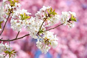 <b>Cherry Blossom in Tokyo</b><br>Selection of 22 items